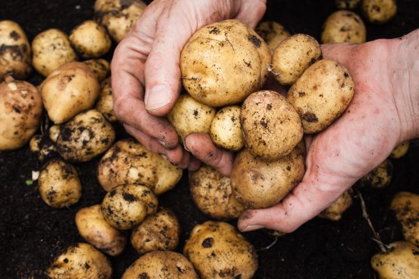 mans hand holding a  freshly harvested potatoes with rich dark soil behind